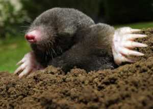 How to get rid of moles - mole