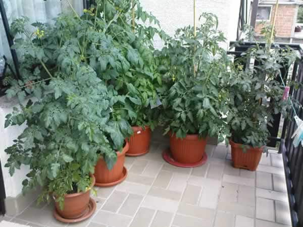 How to grow perfect tomatoes - tomatoes on balcony