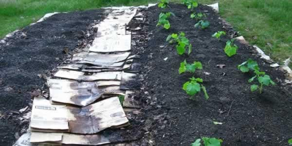 Lasagna gardening - planting