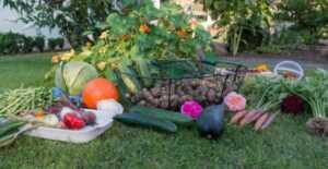 Fall vegetable garden - harvest