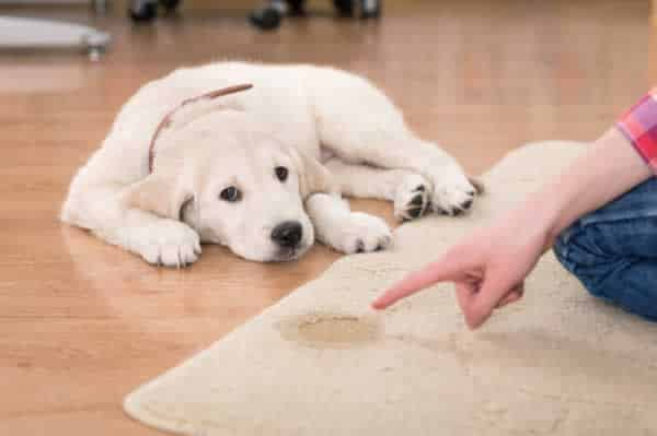 How to clean pet stains on your carpet