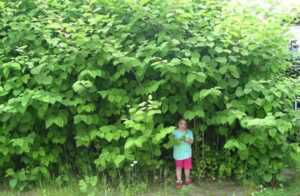How to get rid of Japanese Knotweed