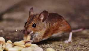 Eco friendly pest control - mouse