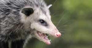 Summer pest prevention - possums