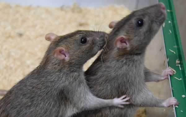 Summer pest prevention - rats