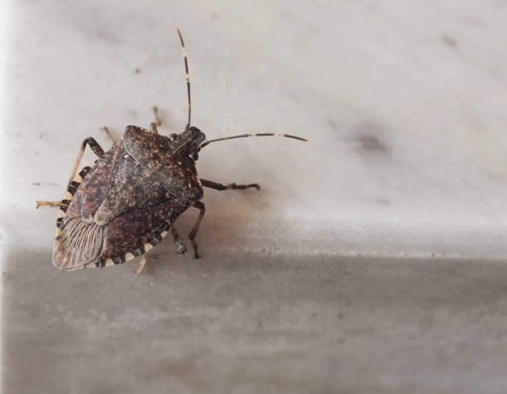 Ways to prevent pests inside your home - stink bug