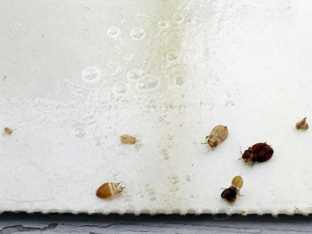 How to Prevent and Kill Bed Bugs in Your Mattress