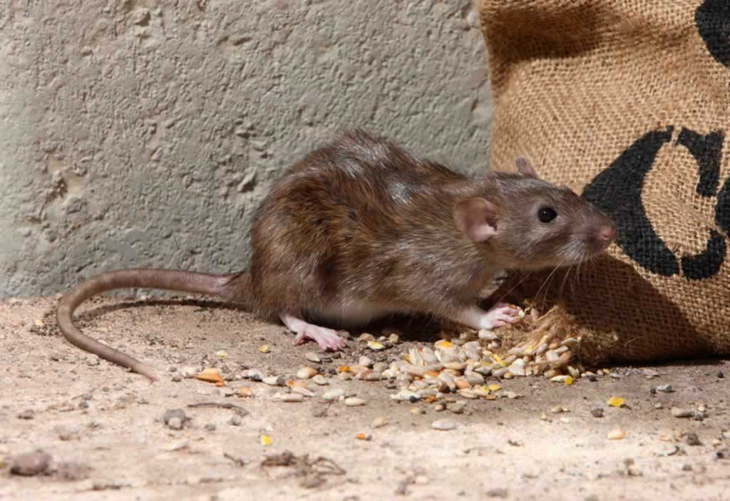 How to find the best service for getting rid of Palm Rats - palm rat