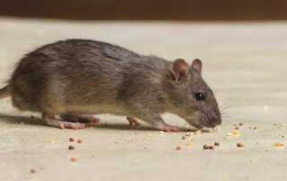 Things to Look For In the Best Service for Getting Rid Of Rats