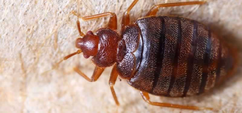 Common household infestations - bed bugs