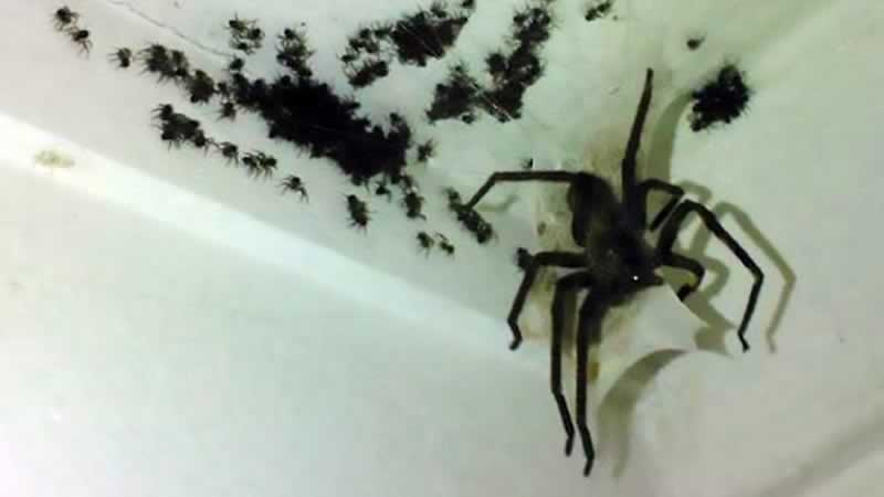 How weather brings an influx of spiders into city homes - spawn of spiders