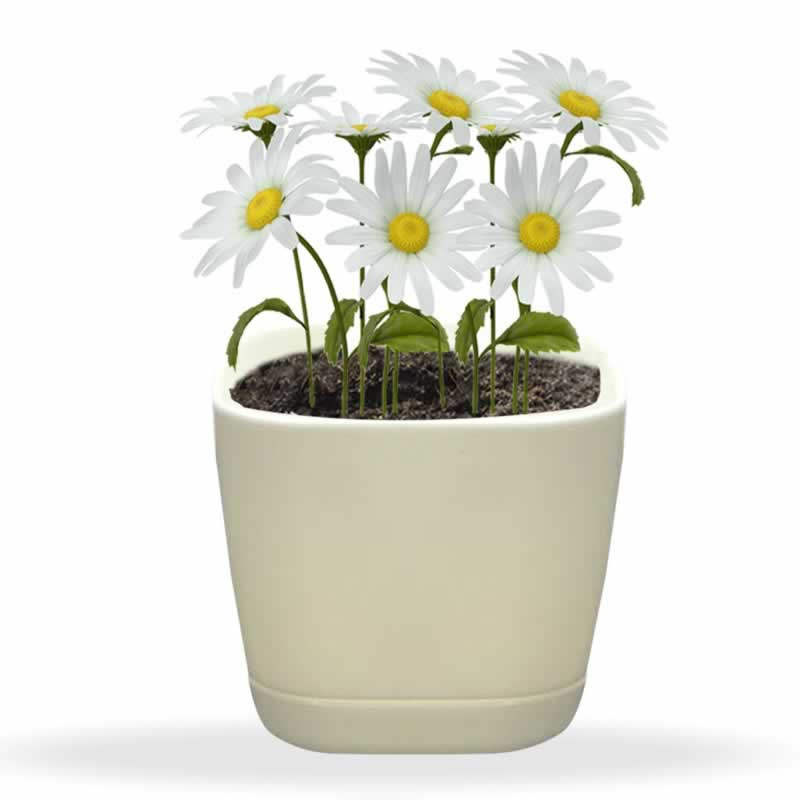10 home medicinal plants that you can give as a gift - chamomile plant