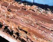 Brisbane Property Buyers Encouraged to Undertake Pest Control - termite infestation