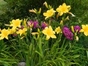 Grow These Classic Perennials to Attract Pollinators - Daylily and Coneflower