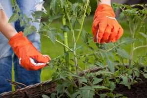 How to create an organic vegetable garden at home - tomatoes