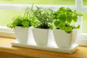 8 Herbs That Grows Well Indoors