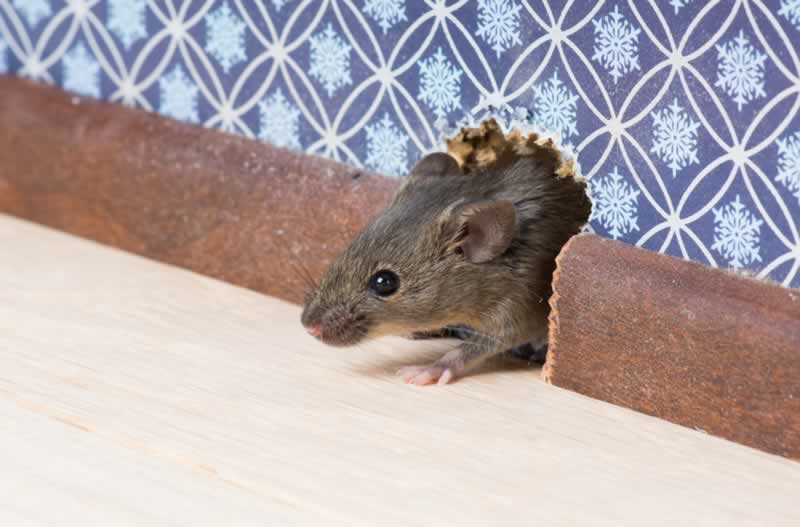 5 Signs You Have a Mouse in Your House