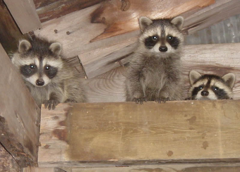 5 Signs You Have a Raccoon in the Attic - raccoon family
