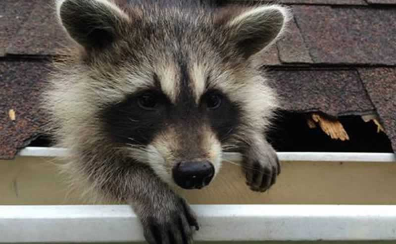 5 Signs You Have a Raccoon in the Attic