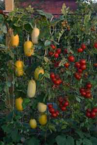 How to grow vegetables in a small garden - vertical garden