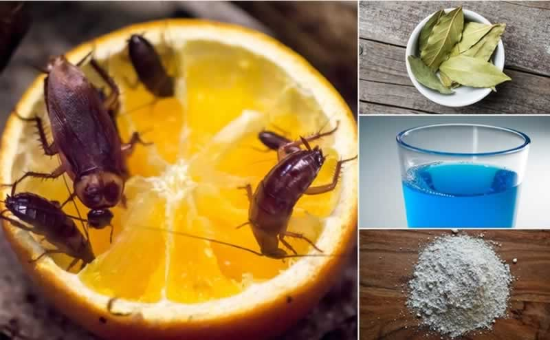 How to get rid of roaches naturally  orange