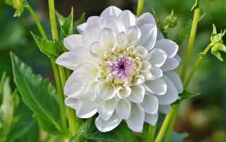 The Top 7 Beautiful Flowers You Can Grow in Your Garden - Dahlia