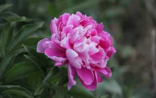 The Top 7 Beautiful Flowers You Can Grow in Your Garden - Peony