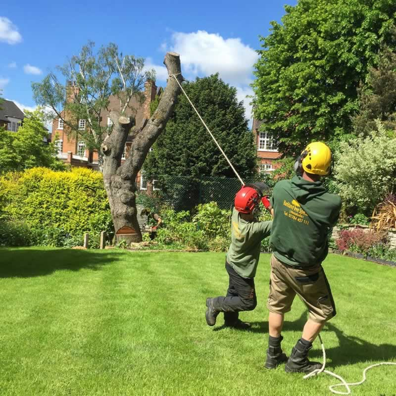 How to safely remove a tree - pulling a tree