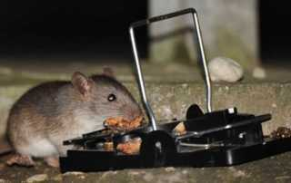 How to Catch a Smart Rat - rat