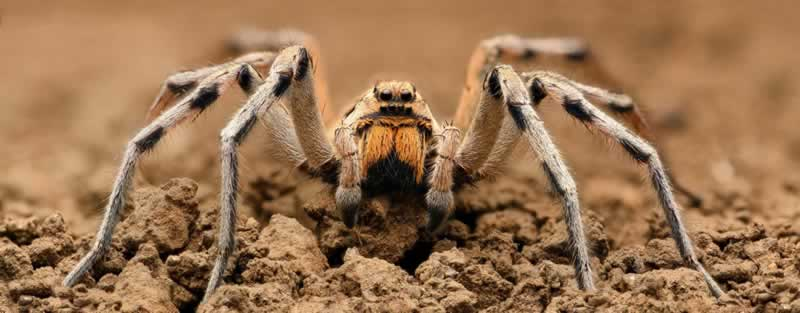 Florida Wolf Spider in Your Attic - wolf spider
