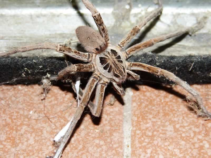 Florida Wolf Spider in Your Attic