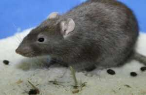 How to identify rat droppings