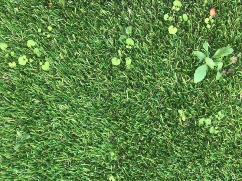 Can weeds grow through synthetic grass