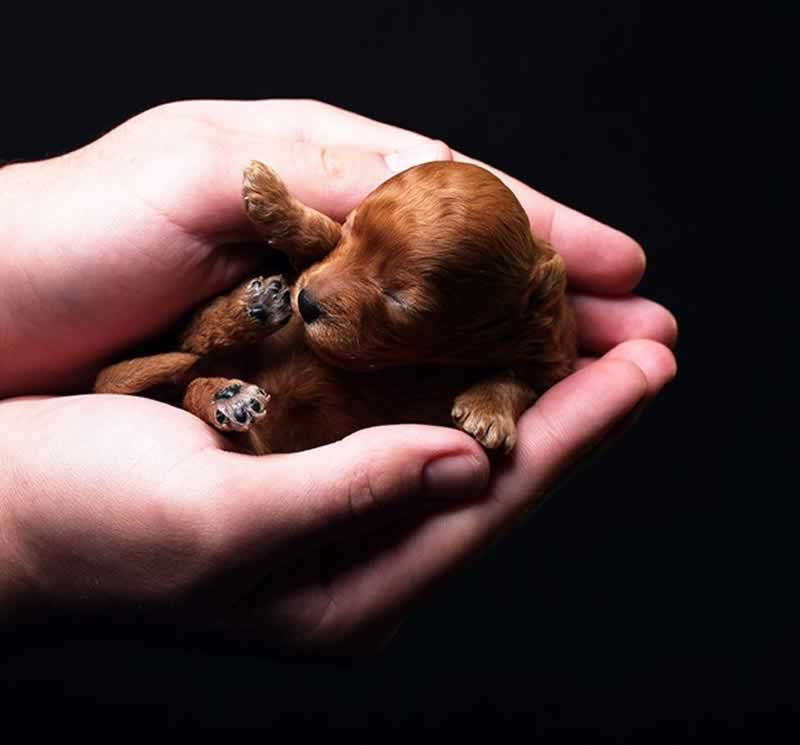 4 Facts about Teacup Puppies All Dog Lovers Should Know - puppy in hands