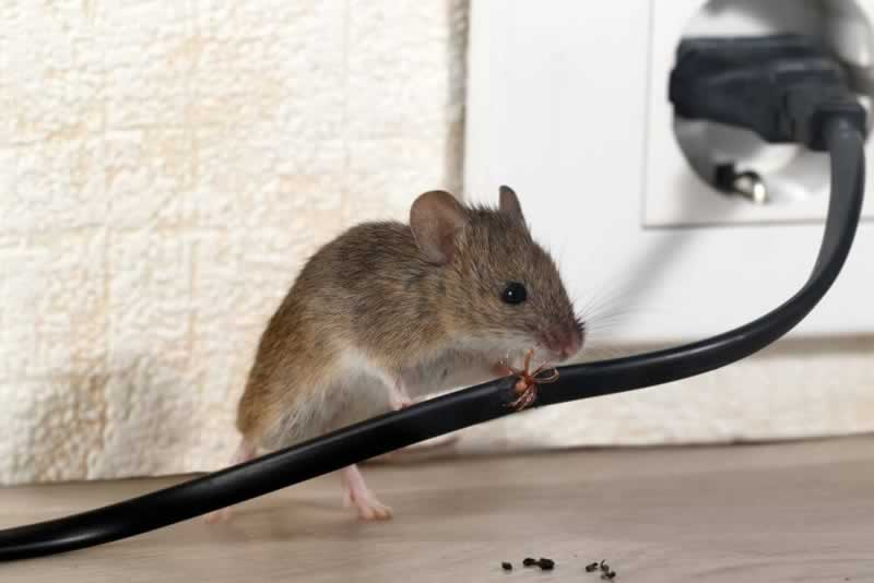 4 Tips for Dealing with a Rodent in Your House - power cord