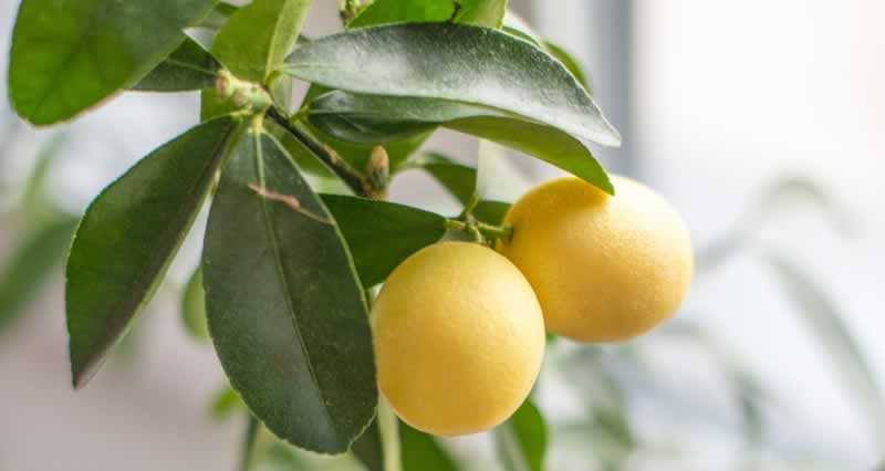 How to germinate lemon seeds in paper towel