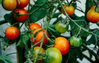 Why It's Better To Grow Vegetables and Fruits at Home - tomatoes