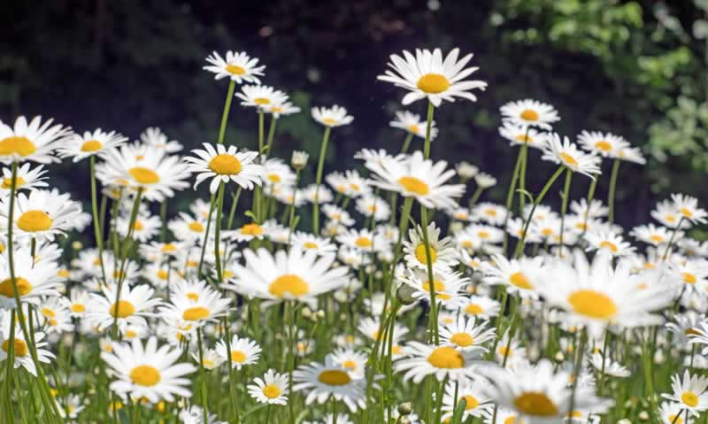 Herbs from your garden that can used to garnish a meal - English daisy