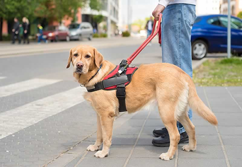 Here is what you need to know about Service Animals - guide dog