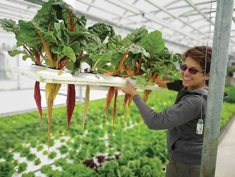 Hydroponics in Canada - lettuce