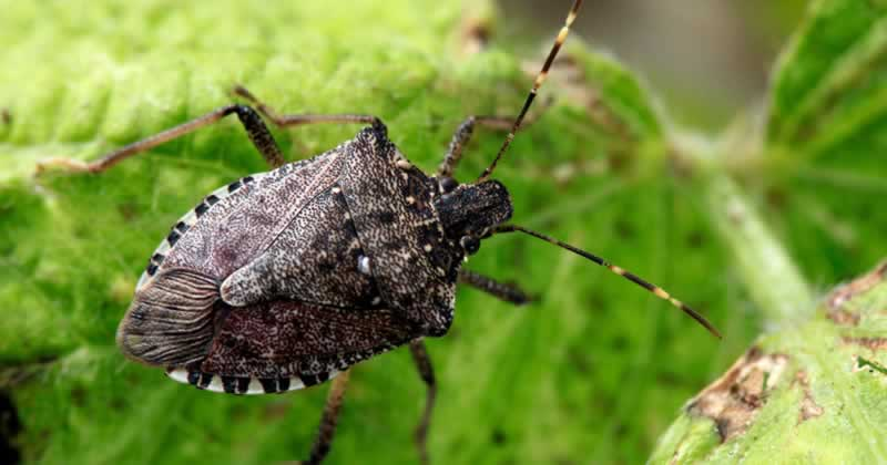 The 2 Worst Invasive Pests - stink bug