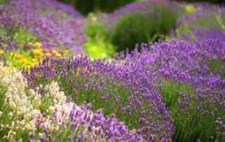 7 Common Mistakes Herb Gardeners Make - flowers