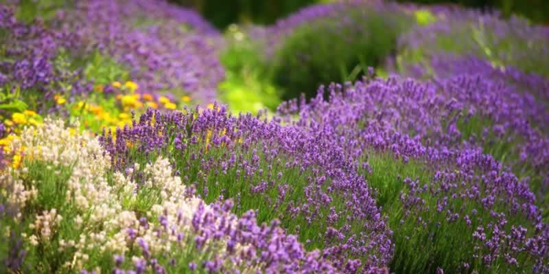 7 Common Mistakes Herb Gardeners Make - flowers