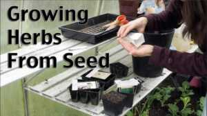 7 Common Mistakes Herb Gardeners Make - growing from seeds