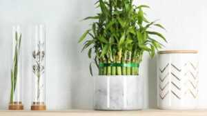 List of Various Green Plants to Gift on Birthday - bamboo