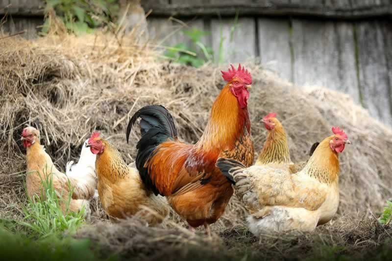 What You Need for Your Very Own Chicken Coop
