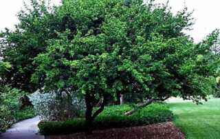 What are the Trees to Plant in Northern California