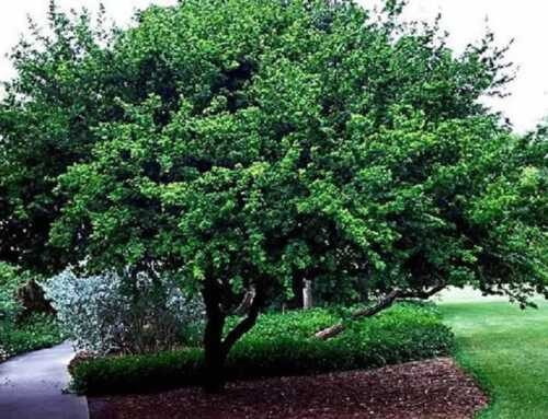 What are the Trees to Plant in Northern California?