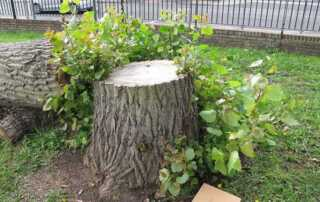 Do Trees Grow Back After Being Cut Down
