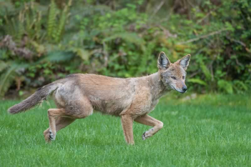 How to keep wildlife and pests out of your backyard - coyote